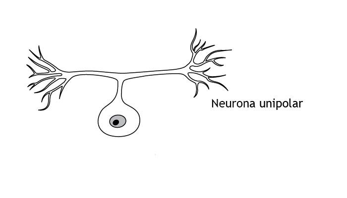 neuronas unipolares bipolares y multipolares